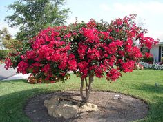 I just planted two bougainvilleas in the front yard. I cannot wait to see them grow!