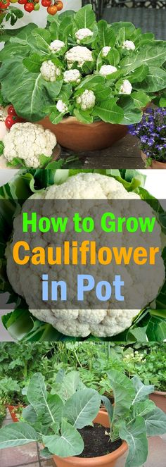 Gardening Growing Cauliflower in Containers - Learn how to grow cauliflower in containers in this article. Growing cauliflowers in containers is not very difficult if you know its proper requirements and ideal growing conditions. Veg Garden, Garden Types, Edible Garden, Veggie Gardens, Garden Pots, Fruit Garden, Potted Garden, Garden Web, Garden Design
