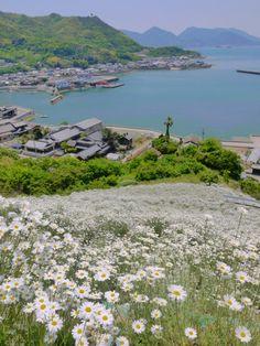 尾道市因島:除虫菊が咲く頃は特に素晴らしい景色です。
