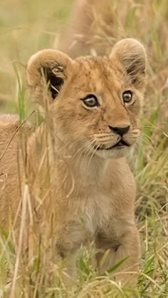 This Lion Cub is Absolutely Adorable! His Eyes are Practically Poppin' out of His Head. Whatever he Sees, he Sure Taking Notice.