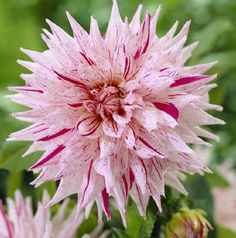 Dahlia 'Mick's Peppermint'