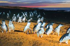 Phillip Island: Surf Beaches, Fine Dining, Walking Trails, Chocolate & the infamous PENGUIN PARADE!