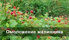Обычно малину выращивают на одном месте не более 10 лет. Срок в 15-18 лет можно считать предельным, особенно если не поддерживать плодородность почвы.