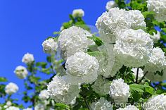 Flowers of Chinese snowball on a bright Sunny day