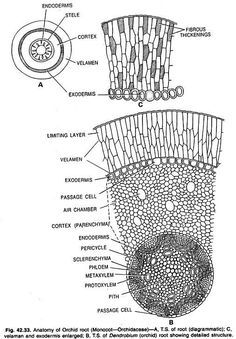 Stem Cross Section Labeled Woody stem labeled woody stem