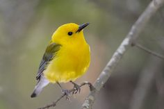 "Prothonotary Warbler.  ""Prothonotary"" refers to bright yellow robes worn by Roman Catholic clerks."