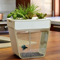 An Aquaponics fish garden! The fish waste fertilizes the 5 herb pots above, while the herbs purify the water. All you have to do is feed the fish, add water every now and then, and there you have something to liven up the office desk!