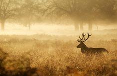 Ecouter le brame du cerf en forêt de Compiègne