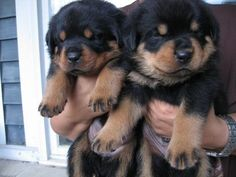 Rottie Puppers - So cute and fluffy