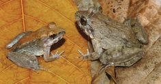 Imagem mostra sapo fêmea (direita) e macho de nova espécie descoberta,  L. Larvaepartus. Os animais foram encontrados na ilha de Sulawesi, na Indonésia. Segundo cientistas, este pequeno anfíbio é o único sapo do mundo que dá à luz aos girinos, evitando a prática comum dos anfíbios de colocar ovos