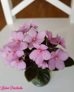 Easy House Plants, Saintpaulia, African Violet, Houseplants, Wordpress Theme, Indoor Plants, Bloom, Flowers, Inside Plants