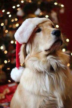 Golden Retriever in a Santa hat