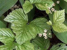 Stenbär, Rubus saxatilis - Blomväxter - NatureGate