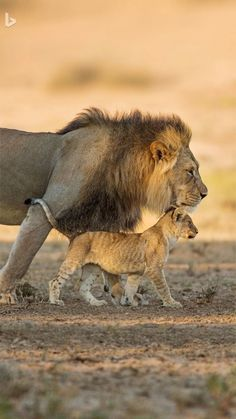 Lion father with cub. Lion Images, Lion Pictures, Animal Pictures, Big Cats, Cats And Kittens, Cute Cats, Beautiful Cats, Animals Beautiful, Beautiful Dark Art