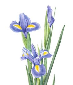 Watercolor Iris Flower Painting  Archival by LauraAshtonArtist