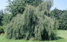 Betula Pendula, England, Plants, Birch, Grief, Tree Structure, Plant, English, British