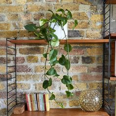 Rapunzel our Devils Ivy is the perfect plant for beginners and busy Londoners. Learn more about the Golden Pothos & buy online from Patch. Ficus Elastica, Feng Shui, Golden Pothos Plant, Best Office Plants, Ivy Plant Indoor, Luz Artificial, Best Air Purifying Plants, Plants Are Friends, Low Maintenance Plants