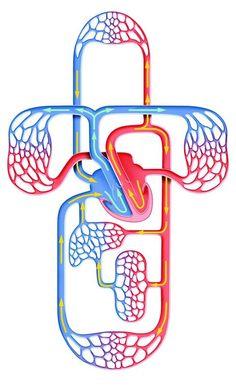 Circulatory System Diagram Kids