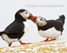 Two Puffins Courtship Billing, 4x5 print matted on white 5x7 mat.  Two Atlantic puffins perform courtship mating ritual billing romance