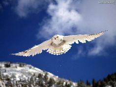 Snowy Owl in flight!