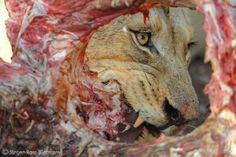 A carcass-eye view - Jürgen Ross - Wildlife Photographer of the Year 2010 : Behaviour: Mammals - Highly commended