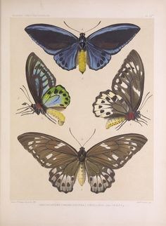Ornithoptera. Icones ornithopterorum v.1  [London] :Published by the author ... Upper Norwood, London, S.E.,1898-1906 [i.e. 1907]  Biodiversitylibrary. Biodivlibrary. BHL. Biodiversity Heritage Library