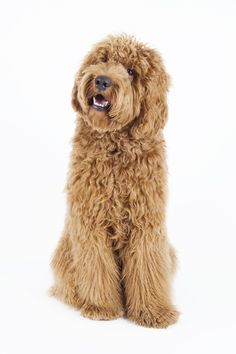8 Surprising Facts about the Labradoodle