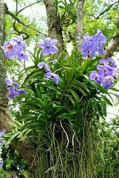 Wonderful Celestial Orchids