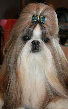 Shih Tzu show dog. Bow by DoggyBow.com