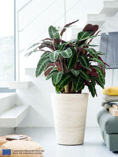 The Calathea is the Houseplant of the month of September 2014 -thejoyofplants.co.uk