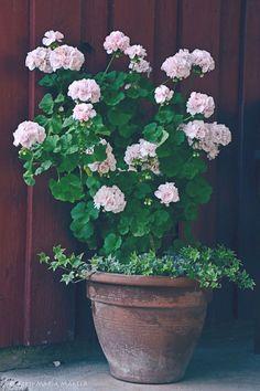 Mummon pelargonia murajantila.blogspot.com