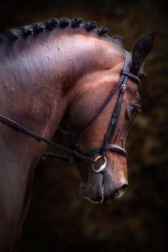 bay horse head lynne davies