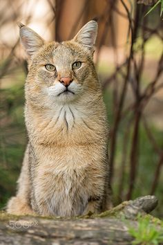 Jungle Cat (Felis chaus) - Taken at the WHF in Kent. Small Wild Cats, Small Cat, Big Cats, Cool Cats, Cats And Kittens, Cats Meowing, Beautiful Cats, Animals Beautiful, Chat Bizarre