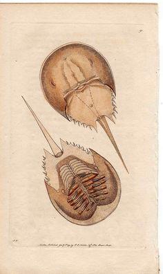 1792 horseshoe crab rare original antique by antiqueprintstore