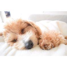 baby❤️ #愛犬#ドッグラン#マルプー#トイプードル#マルチーズ#犬#ミックス#ミックス犬#mix犬#ワンコなしでは生きていけません会#ふわもこ部#いぬ部#いぬバカ#犬バカ部#いぬのいる生活#토이푸들#말티즈#dog#toypoodle#maltese#Marupu#caniche#maltais#maltés#Maltesisch#maltês#мальтийский#игрушкапудель