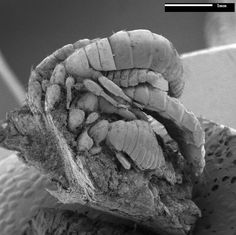 Pelican lice