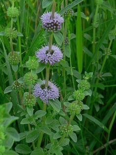 Pennyroyal to deter mosquitos and ticks...need to plant these around the yard.