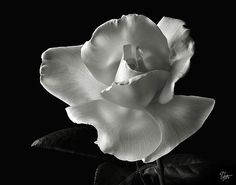 White Rose in Black and White