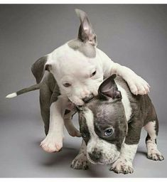 This precious pitbull puppies are going to steal your heart.   www.bullymake.com