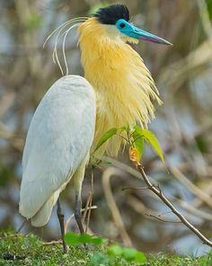 Capped heron bird