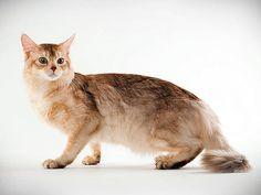 Cat Breed Photo Gallery: Animal Planet  Somali