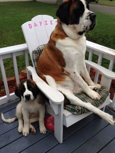 Saint Bernard... I want this dog!!!!! After weeks of considering different breeds this is what I want!!!!
