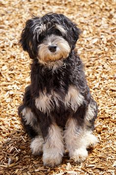 Labradoodles of Montana is dedicated to the breeding and the sale of miniature/medium australian labradoodles. See our website to see what puppies are for sale. Australian Labradoodle, Labradoodles, New Puppy, Montana, Puppies, Animals, Black, Animales, Black People