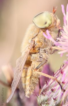 Macro-shot: pastel-colored dream... or insect on thistle