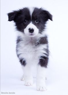 the most wonderful sight ever, a Border collie puppy - this one's for you Sarah Cute Puppies, Cute Dogs, Dogs And Puppies, Doggies, Bulldog Puppies, Border Collie Puppies, Collie Dog, Yorkshire Terrier Puppies, Beautiful Dogs