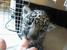 A jaguar cub chewing on a finger