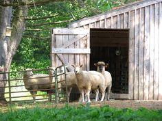 Timeless scene of barn and sheep