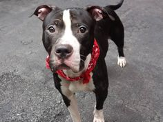 GONE 8/16/14 Manhattan Center -P  My name is CHAMP. My Animal ID # is A1009827. I am a male black and white pit bull mix. The shelter thinks I am about 5 YEARS old.  I came in the shelter as a STRAY on 08/08/2014 from NY 11101, owner surrender reason stated was STRAY.   https://www.facebook.com/Urgentdeathrowdogs/photos/a.611290788883804.1073741851.152876678058553/854200977926116/?type=1