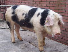 De Bonte Bentheimer is een oud varkensras dat van eind negentiende eeuw tot halverwege de twintigste  eeuw veel voorkwam in het de grensstreek van Bad Bentheim en Twente.
