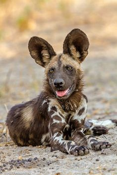 I WANT ONE. African Wild Dog